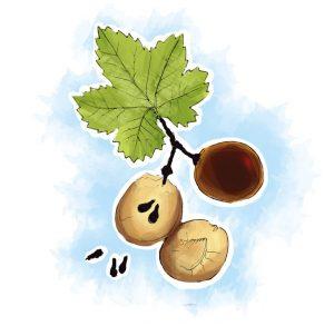Para o alívio das hemorroidas, apesar de toda a videira poder ser benéfica, as grainhas da uva são as que têm maior concentração de compostos com ação venotónica e cicatrizante
