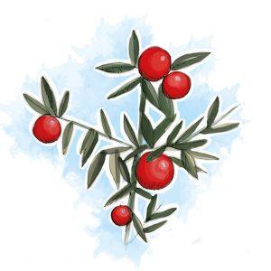 Graças às substâncias que contém, a gilbardeira é uma planta que ajuda no alívio das hemorroidas