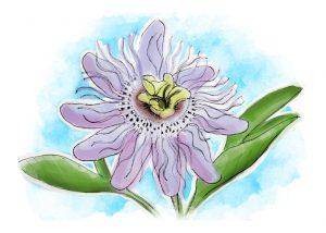 Como reduz as palpitações e as alterações nos ritmos cardíacos, a passiflora é uma solução natural eficaz a controlar a ansiedade