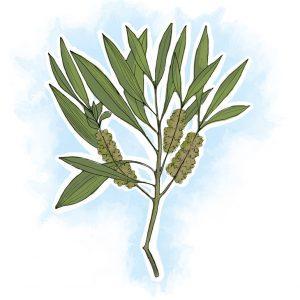 Sob forma de óleo essencial, a árvore-do-chá ajuda a eliminar piolhos de forma natural