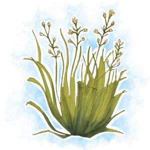 Com ação repelente, a citronela é muito eficaz para eliminar piolhos e prevenir as recidivas