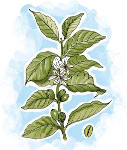 Em versão comprimido, o café verde é considerado uma das plantas para emagrecer de forma natural