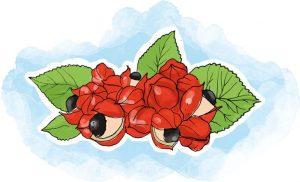 O guaraná é rico em cafeína, sendo visto como uma das plantas para emagrecer mais eficazes