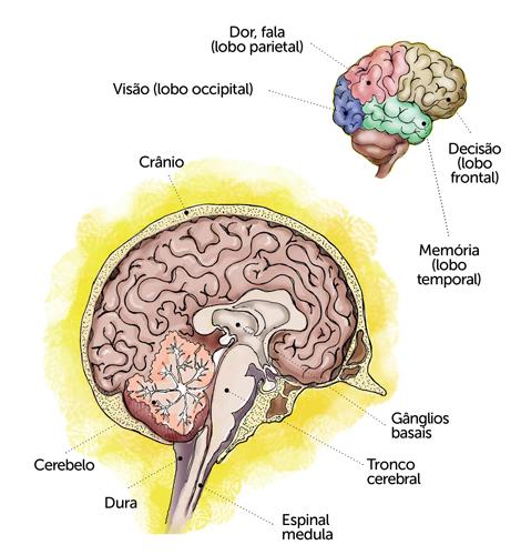 É o cérebro quem controla tudo o que o nosso organismo faz