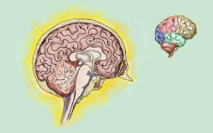 """O cérebro é o órgão do sistema nervoso central que é """"a nossa caixa de fusíveis anatómica"""""""