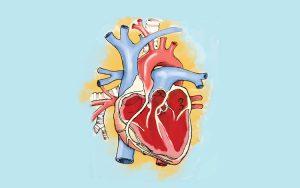Como funciona o coração