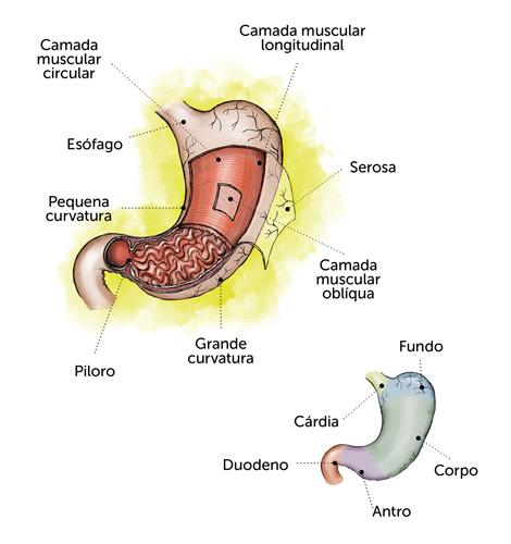 como funciona o estômago