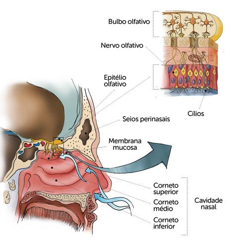 O nariz é responsável pelo sentido do olfato e por filtrar o ar
