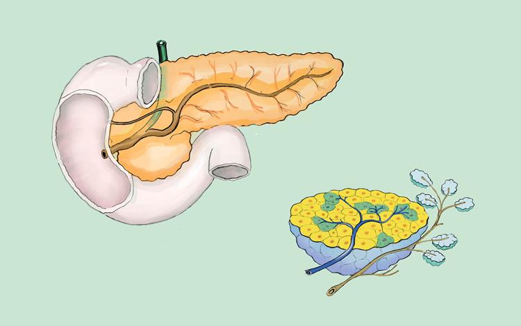 O pâncreas expele hormonas que ajudam a regular o açúcar no sangue