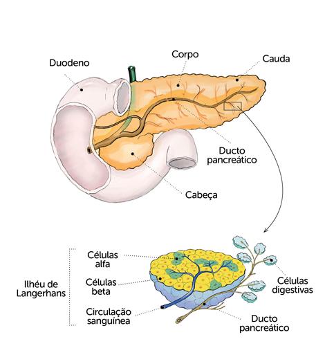 O pâncreas segrega enzimas que facilitam o processo digestivoO pâncreas segrega enzimas que facilitam o processo digestivo