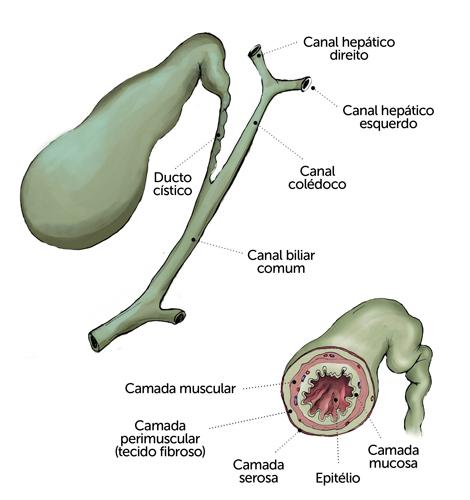 A função da vesícula é armazenar bílis, um líquido esverdeado que facilita a digestão das gorduras
