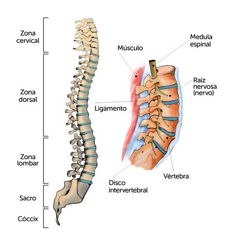 A coluna vertebral suporta o peso corporal e protege a medula