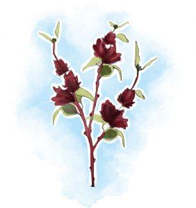 plantas para controlar a transpiração: Hibisco Hibiscus sabdariffa L.