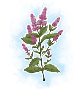 plantas que ajudam a controlar a transpiração: Hortelã-Pimenta Mentha piperita L.