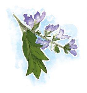 controlar a transpiração: Salva Salvia officinalis L.