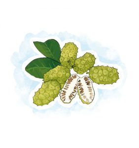 Plantas que ajudam a travar a diarreia: Araruta Maranta arundinacea L.