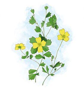 Plantas que ajudam a travar a diarreia: Tormentilha Potentilla erecta (L.) Raeusch