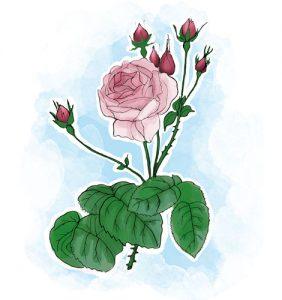 Rosa-de-cem-pétalas Rosa centifolia L. contra a dermatite seborreica